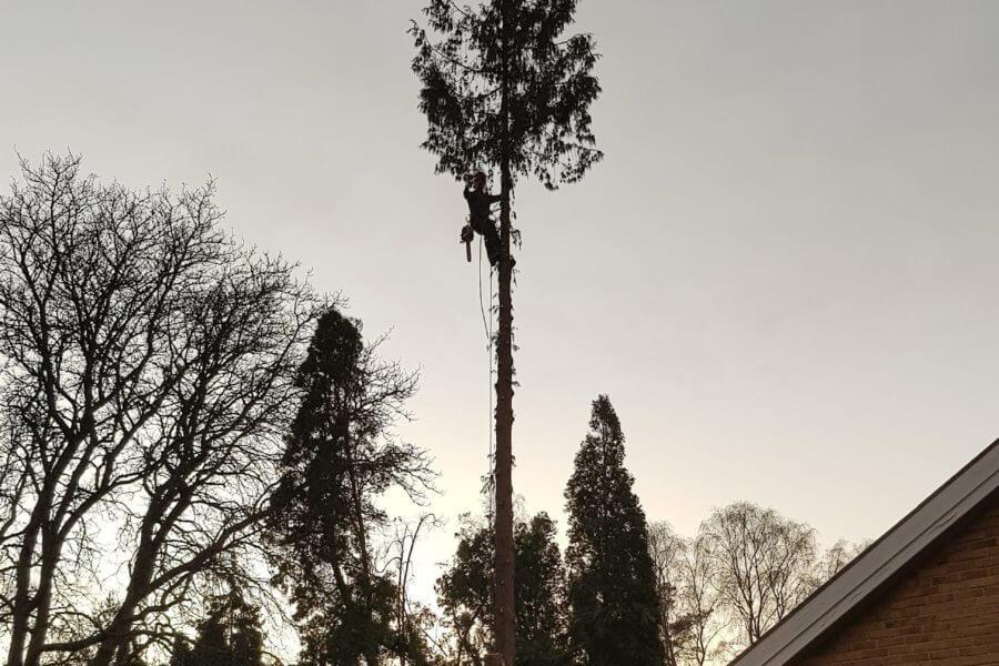 Jacksons-Trädvård-trädbeskärning-fällning