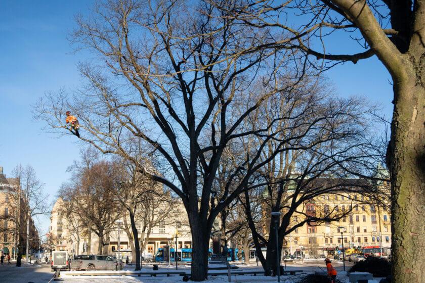 Jacksons-Trädvård Stockholm-Göteborg-Skaraborg trädvård trädfällning naturvård beskärning trädåtgärder trädbeskärning naturvård