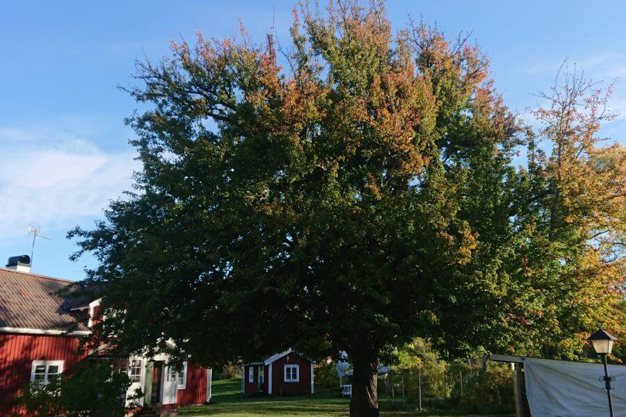 Jacksons-Trädvård-päronträd
