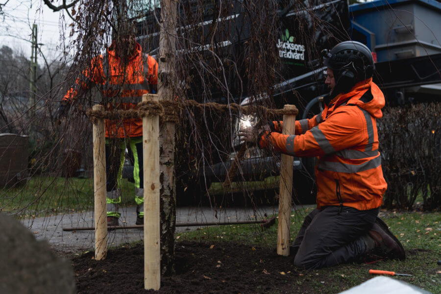 Jacksons-Trädvård-trädplantering-Stockholm-Göteborg-Helsingborg