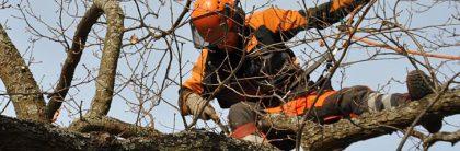 Jacksons-Trädvård-arborist-beskärning
