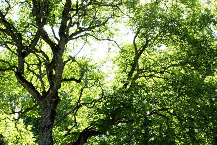 Jacksons-Trädvård-ekar