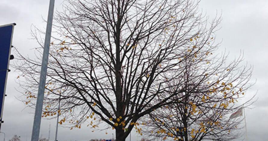 Jacksons-Trädvård-Kurs-trädbeskärning