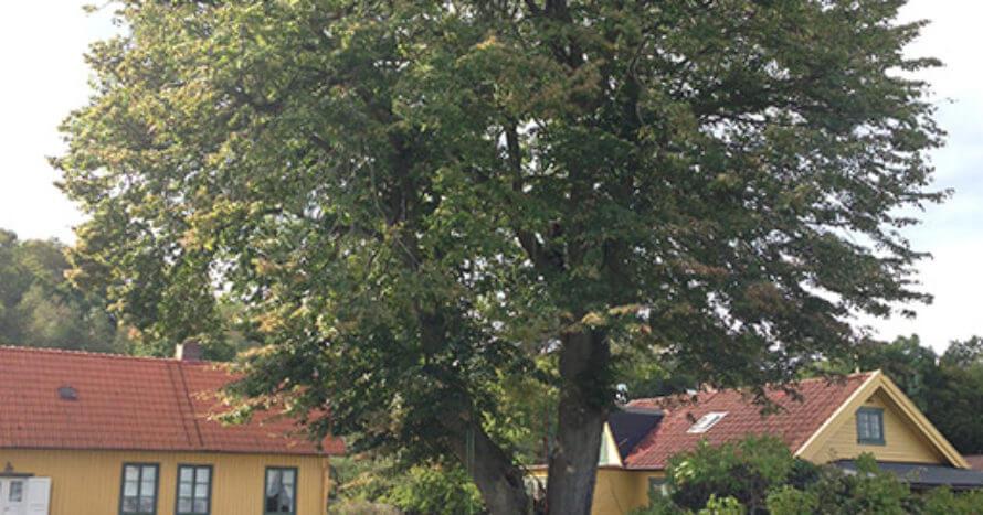 Jacksons-Trädvård-Lind Knapegården-Onsala-beskärning