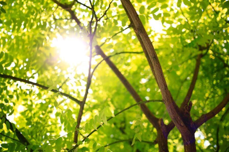 Jacksons-Trädvård
